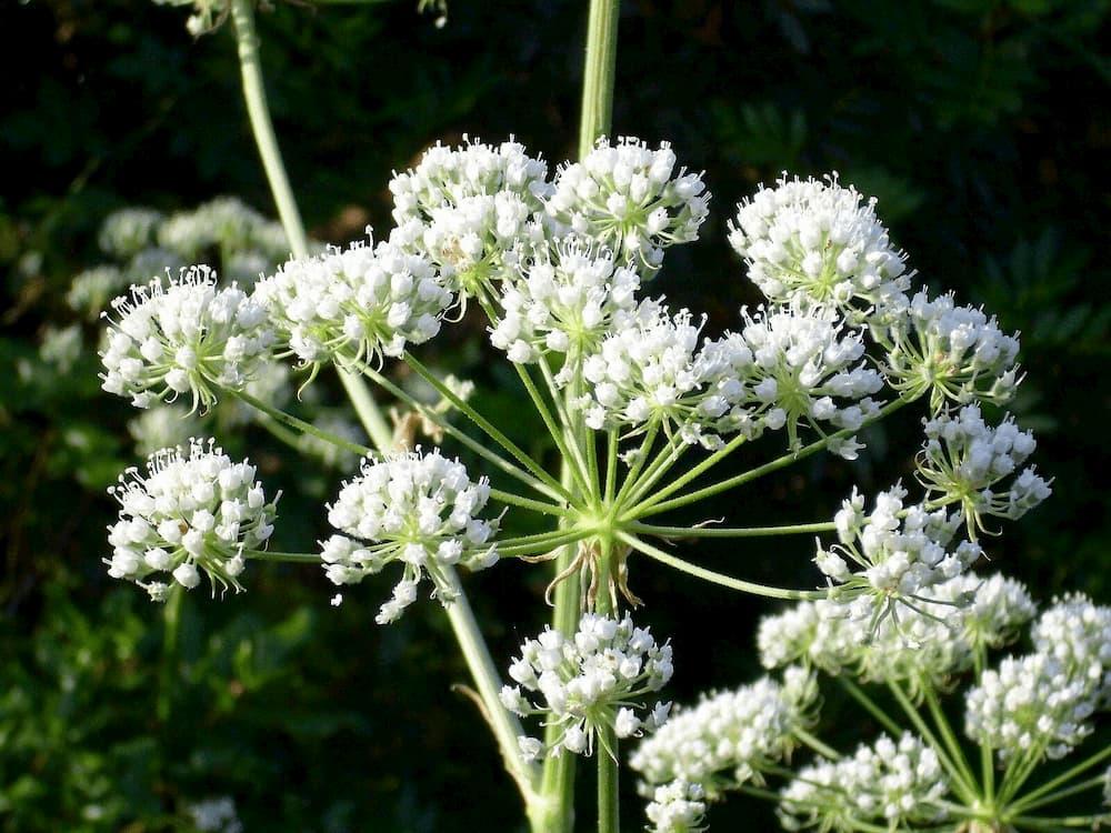 conium-planta-medicinal1